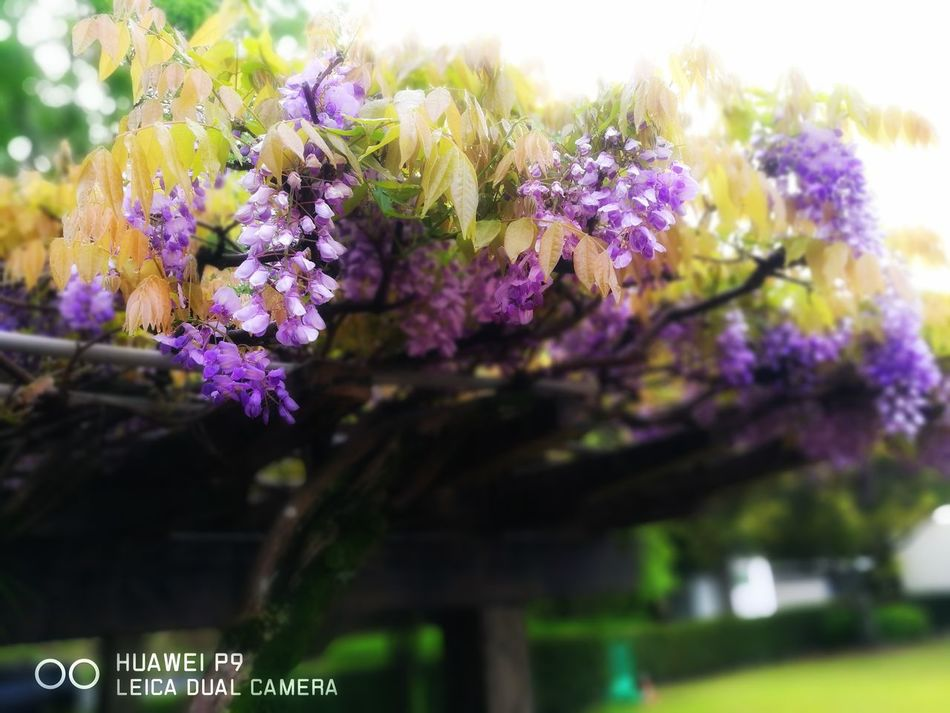 Wisteria Flower 藤 藤棚 春 Blossom Purple Fragility Nature Springtime Freshness Beauty In Nature Tree Flower Head No People Outdoors Day Sky 雨 雨降り Hanging Perfume Forest Tree Spring