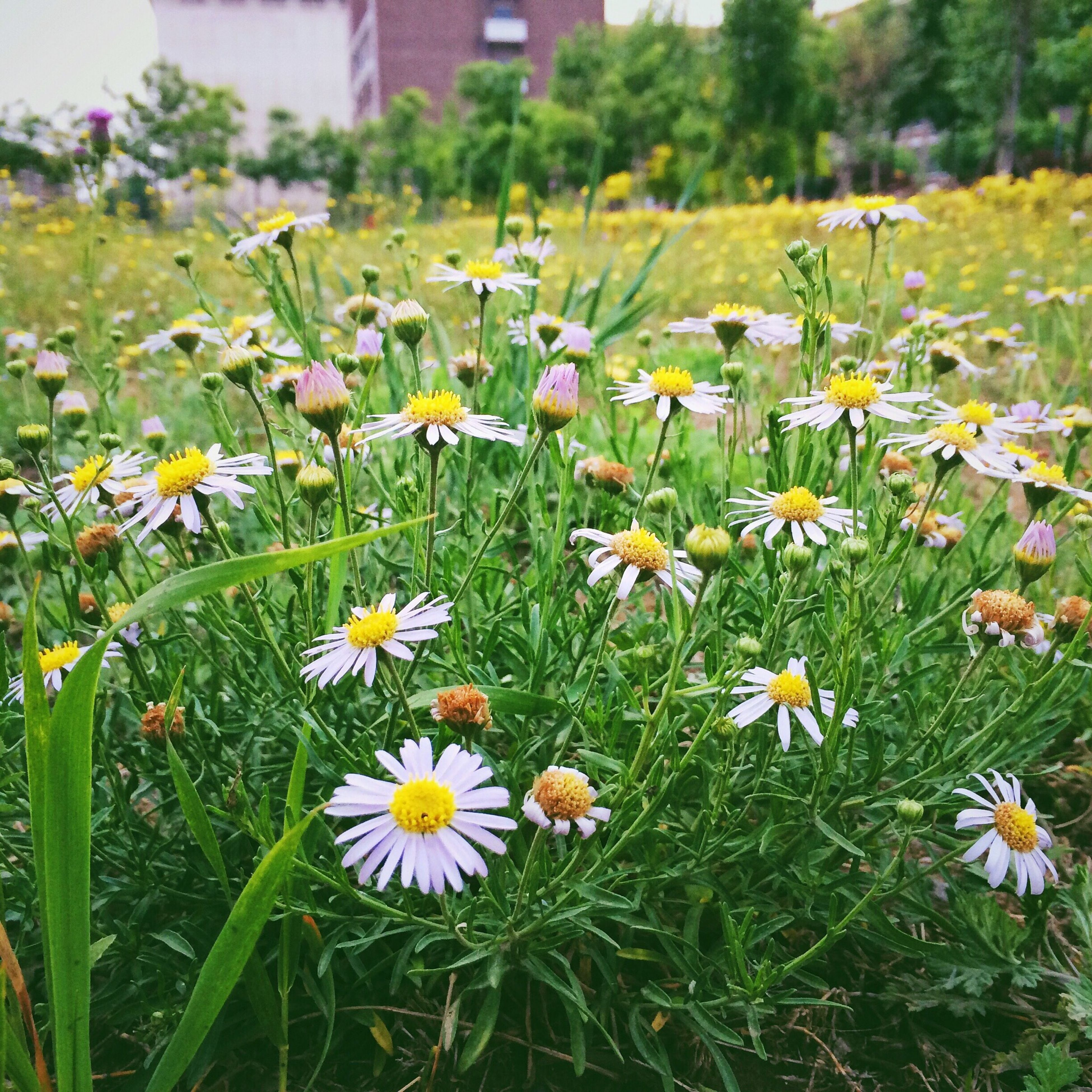 flower, freshness, fragility, growth, petal, field, grass, beauty in nature, blooming, flower head, nature, plant, green color, in bloom, daisy, yellow, wildflower, white color, day, meadow