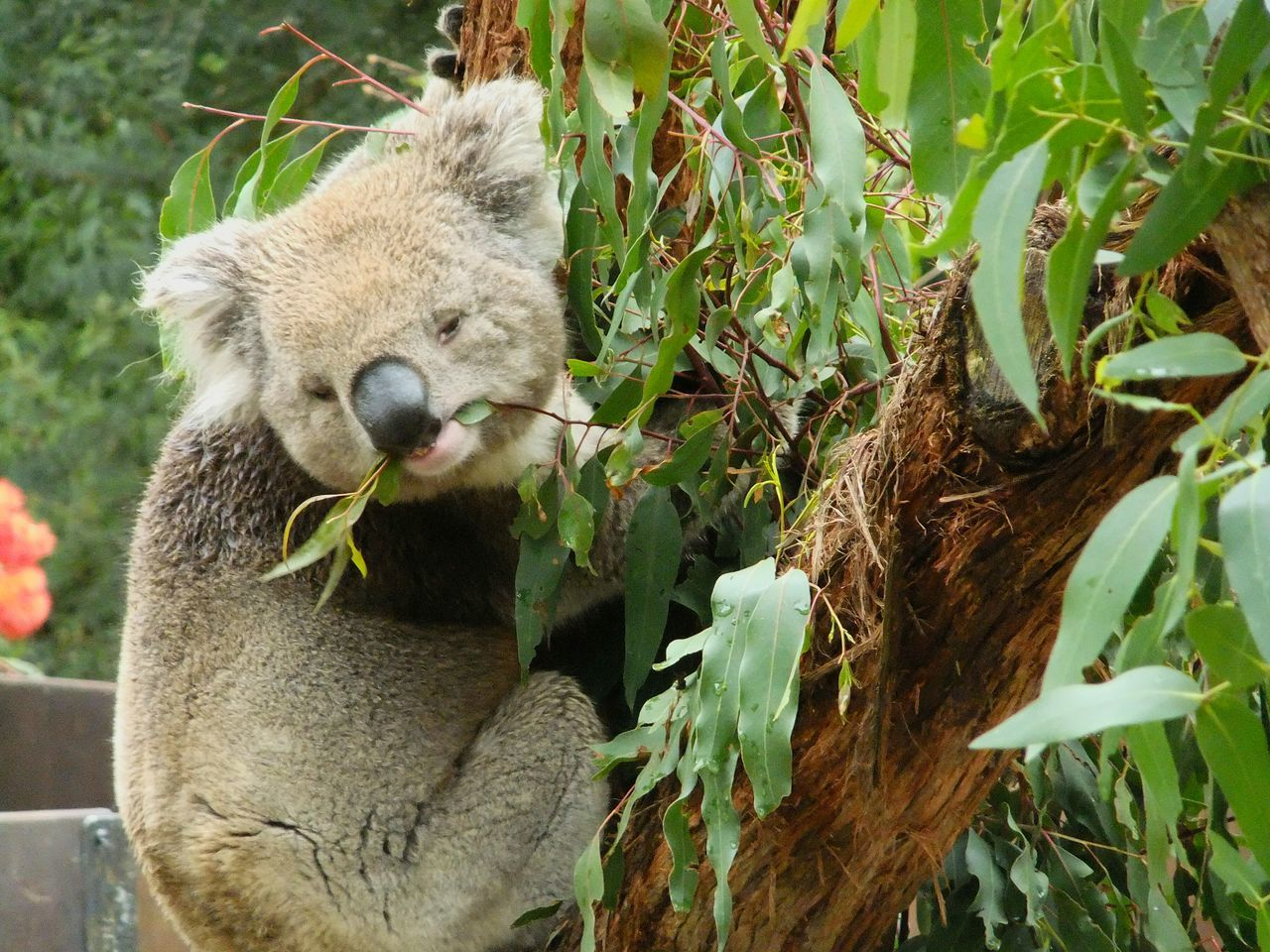 Animal Themes Animals In The Wild Animal Wildlife Tree Koala Green Color One Animal Close-up Green Nature Life Melbourne
