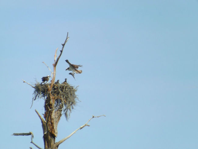 Birds In A Tree Birds In Flight Dead Tree Dead Tree Giving Life Osprey Nest  Ospreys Ospreys Feeding The Babies The Giving Tree Wings Spread Stormwater Park, Sebastian, FL