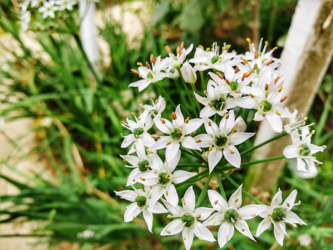 flower, nature, beauty in nature, white color, growth, no people, fragility, day, plant, freshness, outdoors, close-up, blooming, flower head