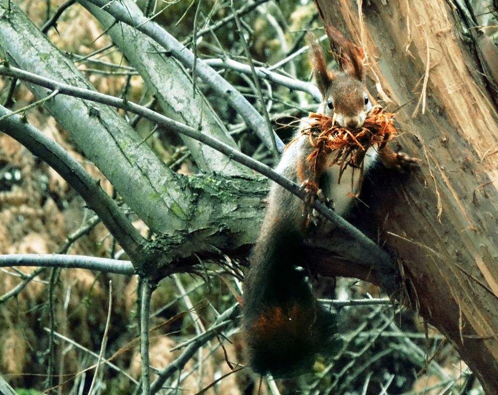 Visitor Redsquirrel Eichhörnchen Besuch