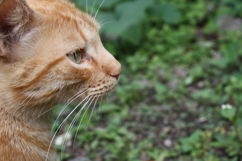Animal Themes Close-up Day Domestic Animals Domestic Cat Feline Ginger Cat Mammal Nature No People One Animal Outdoors Pets