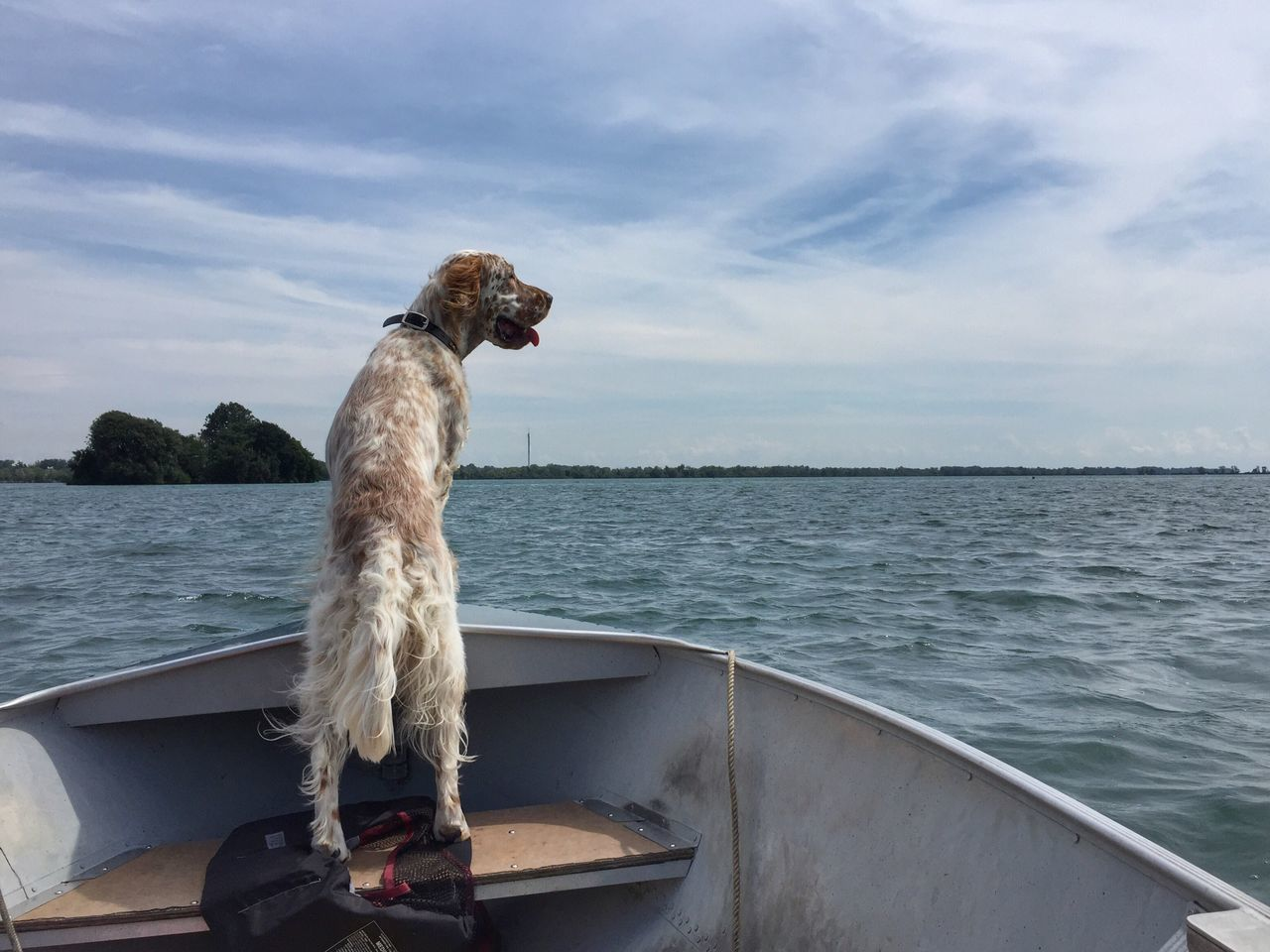 Love boat rides! Detroit River Boating Dog In Boat English Setter Pointerdog Bird Dog Birddog Boating Time