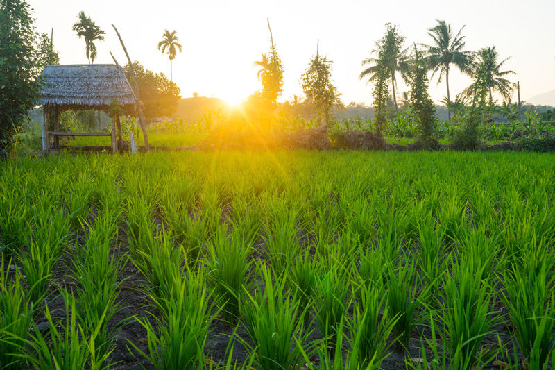 View of Mount Rinjani in early morning from Desa Sembalun, Lombok, Indonesia Agriculture Cereal Plant Hut Lombok-Indonesia Paddy Field Rinjani National Park Rural Scene Sunrise