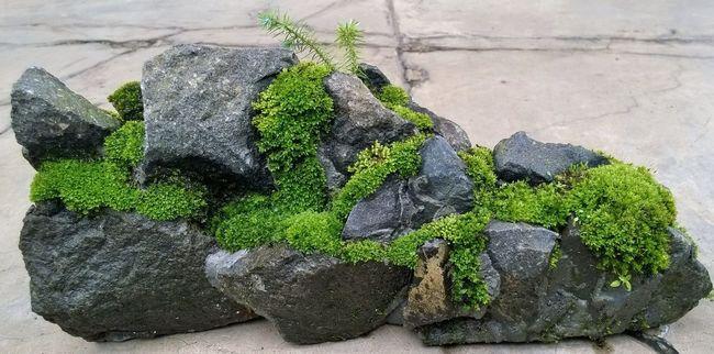 Moss Penjing