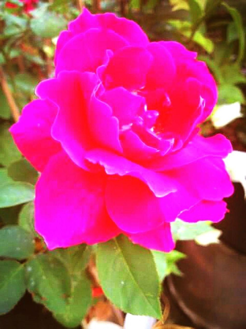 Roses from my garden to you, my friends. 🌹💝 Flower Collection Pink Flower Flowerporn Flowers Rose🌹 Rose Garden Eyeem Nice Shots