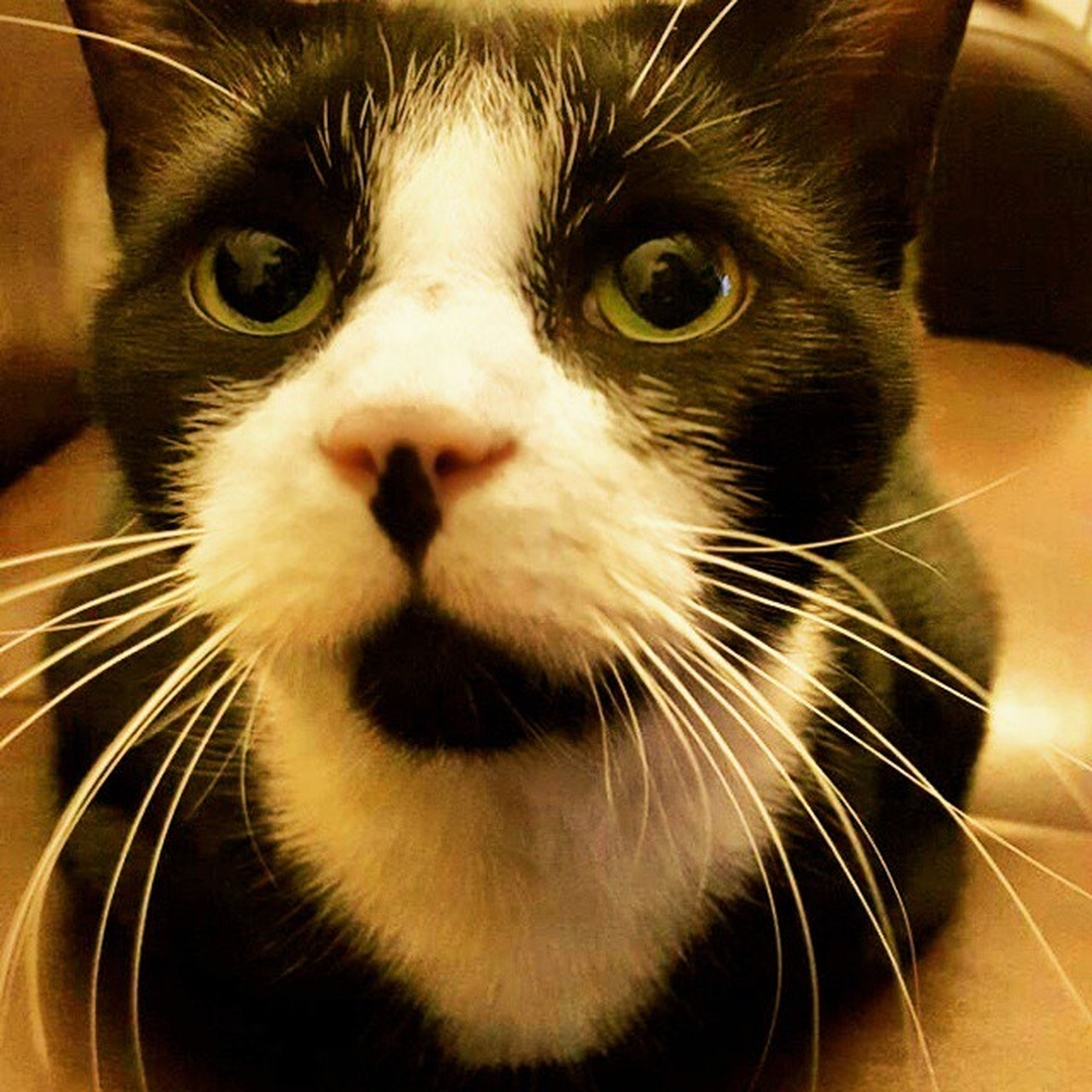 one animal, pets, whisker, animal themes, domestic animals, domestic cat, looking at camera, close-up, mammal, feline, indoors, animal head, no people, portrait, day