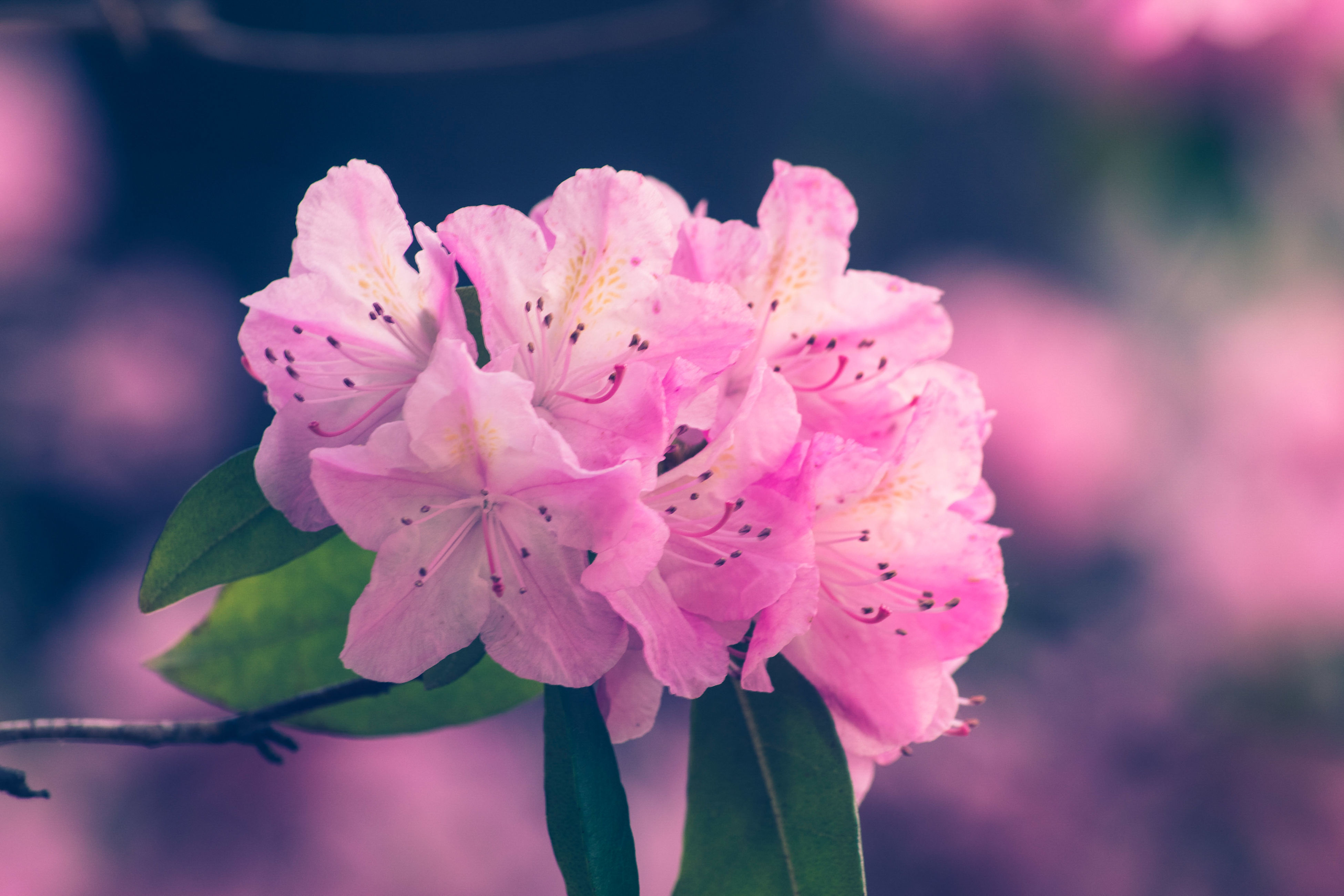 flower, fragility, beauty in nature, growth, pink color, petal, nature, freshness, flower head, close-up, focus on foreground, blossom, no people, outdoors, stamen, springtime, day, plant, blooming, animal themes