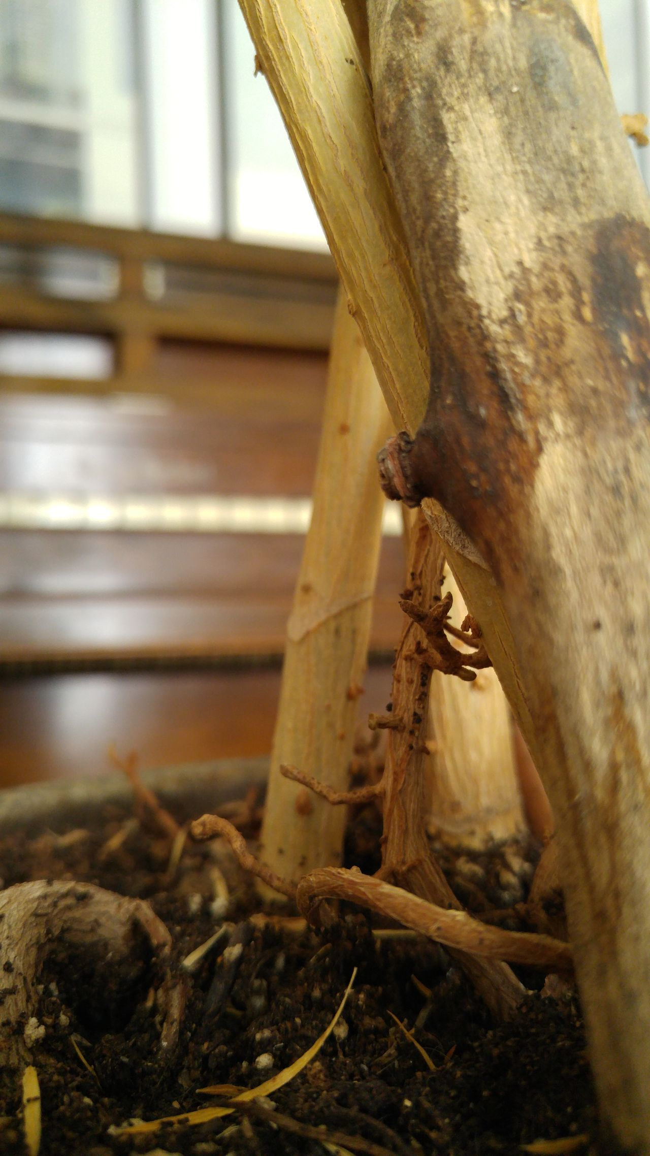 In the pot. Close-up Indoors  No People Plant Soil Plant Stalk Wood Grain Root