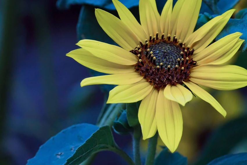 Colorful Sunflower Flower Petal Fragility Flower Head Freshness Pollen Nature Beauty In Nature Growth Blooming Close-up Plant No People Day Outdoors Yellow
