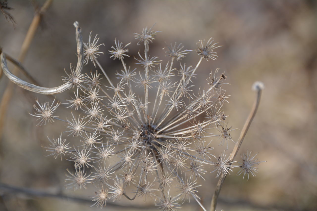 Beauty In Nature Cactus Close-up Day Dried Plant Flower Focus On Foreground Growth Nature No People Outdoors Plant Spiky Thistle Wilted Plant