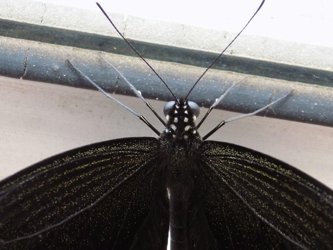 Paint It Black Saturdaysong_eyeemchallenge Butterfly Butterfly Collection Macro Macro_collection On My Balcony Nature Nature_collection EyeEm Nature Lover