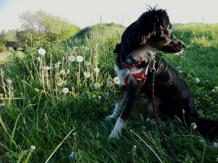 Dog Pets Border Collie Nature Plant Summertime Summer Views Dogs Dandelions Grass Flower Head Trees Bibi Day Pet Collar No People Growth Nature Shaking Sky