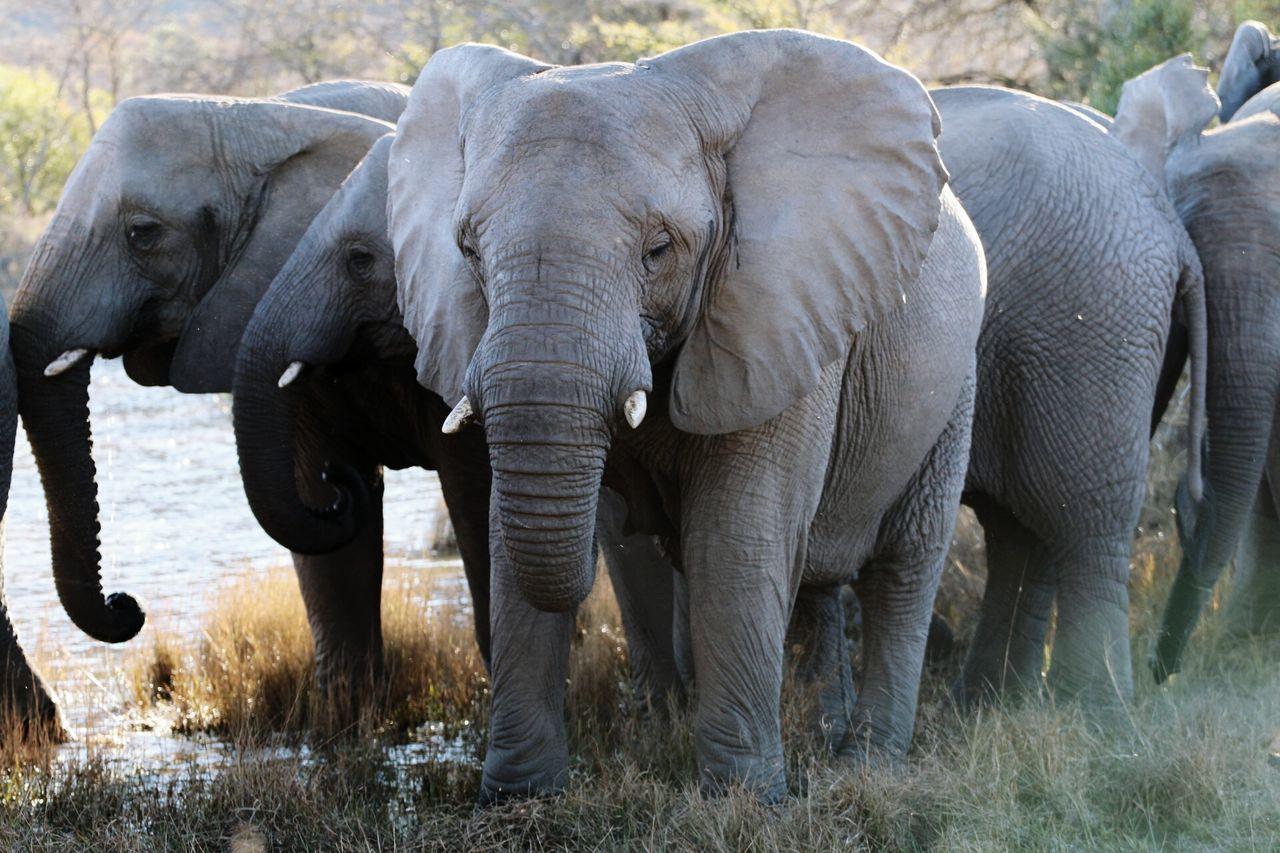 elephant Elephant Elephants Afrika South Africa
