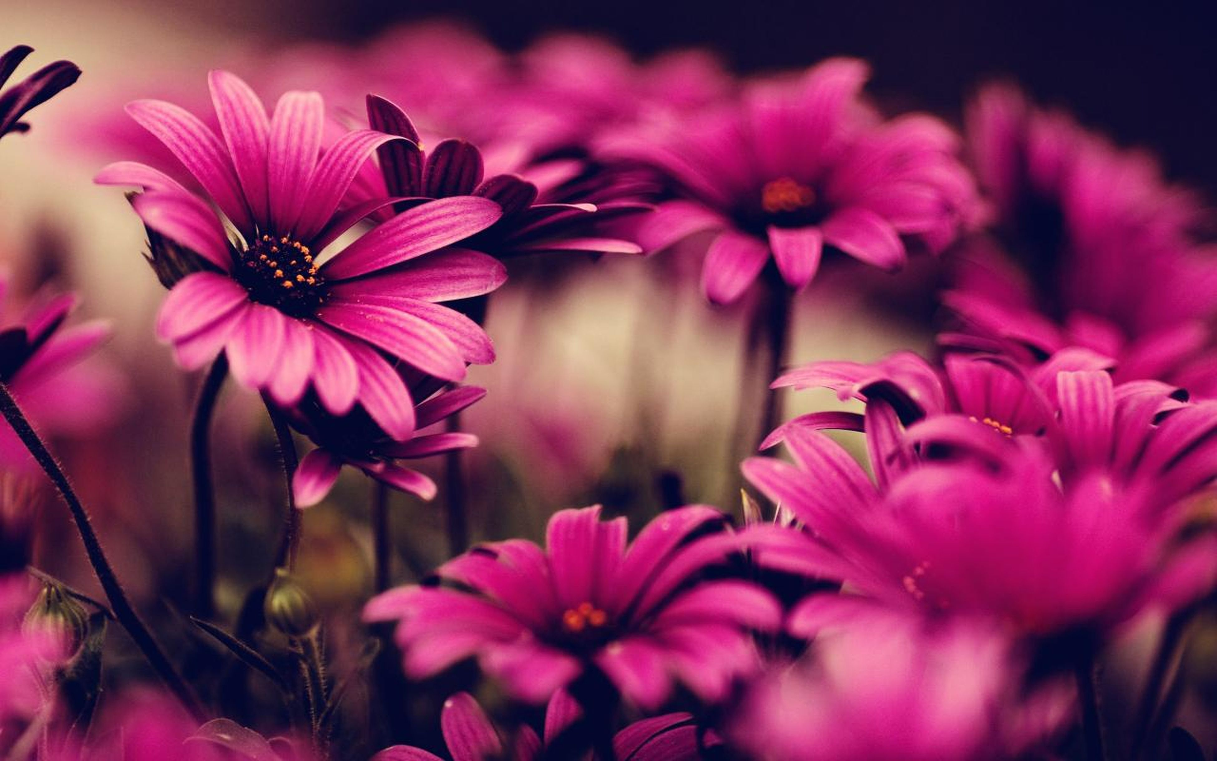 flower, freshness, petal, fragility, flower head, pink color, growth, beauty in nature, focus on foreground, close-up, blooming, nature, plant, in bloom, stem, purple, selective focus, pink, pollen, blossom
