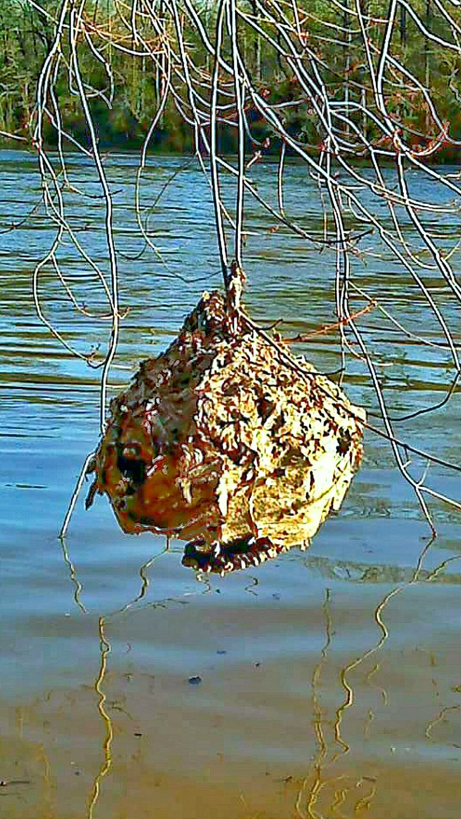 Nature Photography Hornet's Nest Outdoor Photography Water River Tree Limbs Vines Wasp Nest Do Not TOUCH Hornets Nest Hanging Over Water