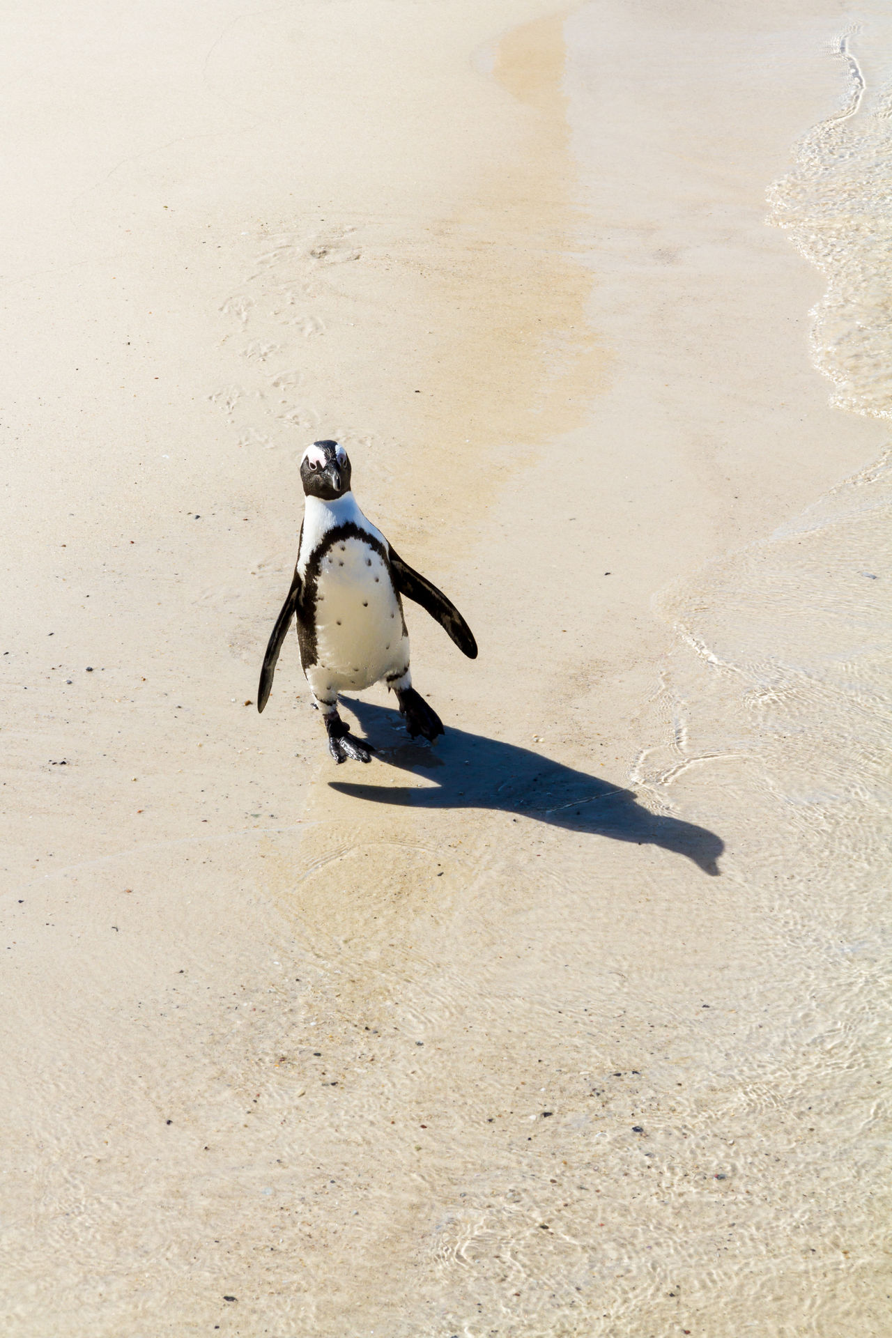 An African penguin waddling along the beach African Penguin Animal Themes Beach Bird Boulder Beach Cape Peninsula Day Flightless Flightless Bird Jackass Penguin Natural Habitat Nature No People One Animal Outdoors Penguin Sand Shadow Simons Town South Africa Vertical Waddling Wildlife Zoology