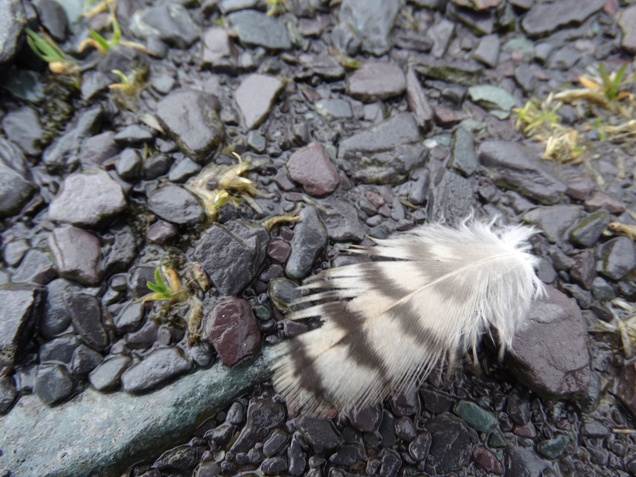 Small feather on stones. Feather  Feathers Bird Feather Bird Feathers Outdoors High Angle View Animal Themes No People Nature Close-up Day Stones Pebbles Wet Pebble Wildlife & Nature Wild Wildlife Softness Fluffy Rocks