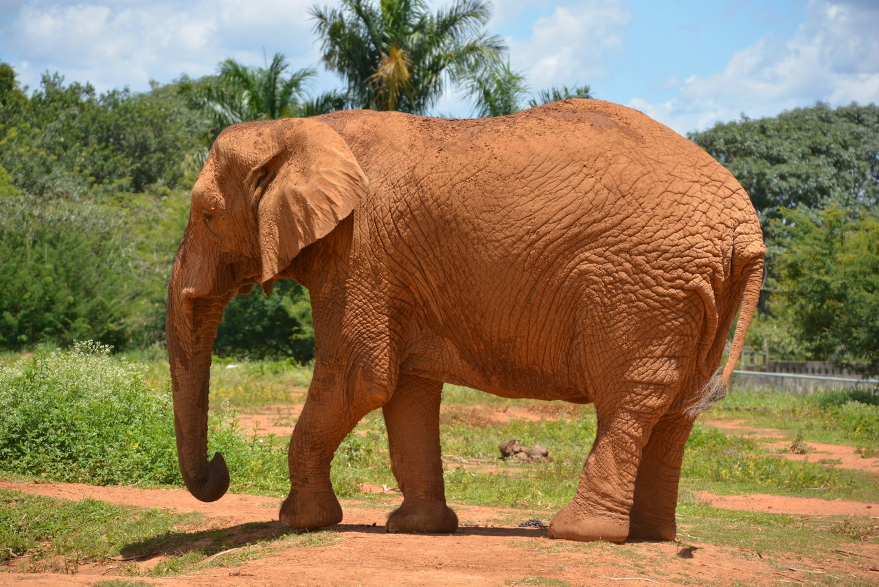 African Elephant Animal Themes Animals In The Wild Brown Check This Out Day Elephant First Eyeem Photo Full Length Grass Growth Mammal Nature Nature No People One Animal Outdoors Sky Sunlight Tree Zoology