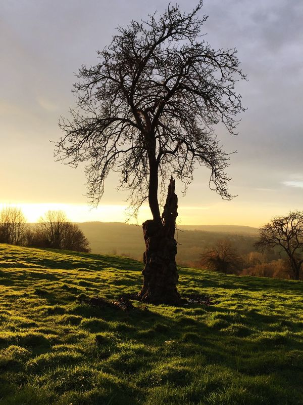 Normandy sunrise. Tree Landscape Field Lone Tranquility Grass Nature Beauty In Nature Bare Tree Sky Scenics No People Outdoors Day