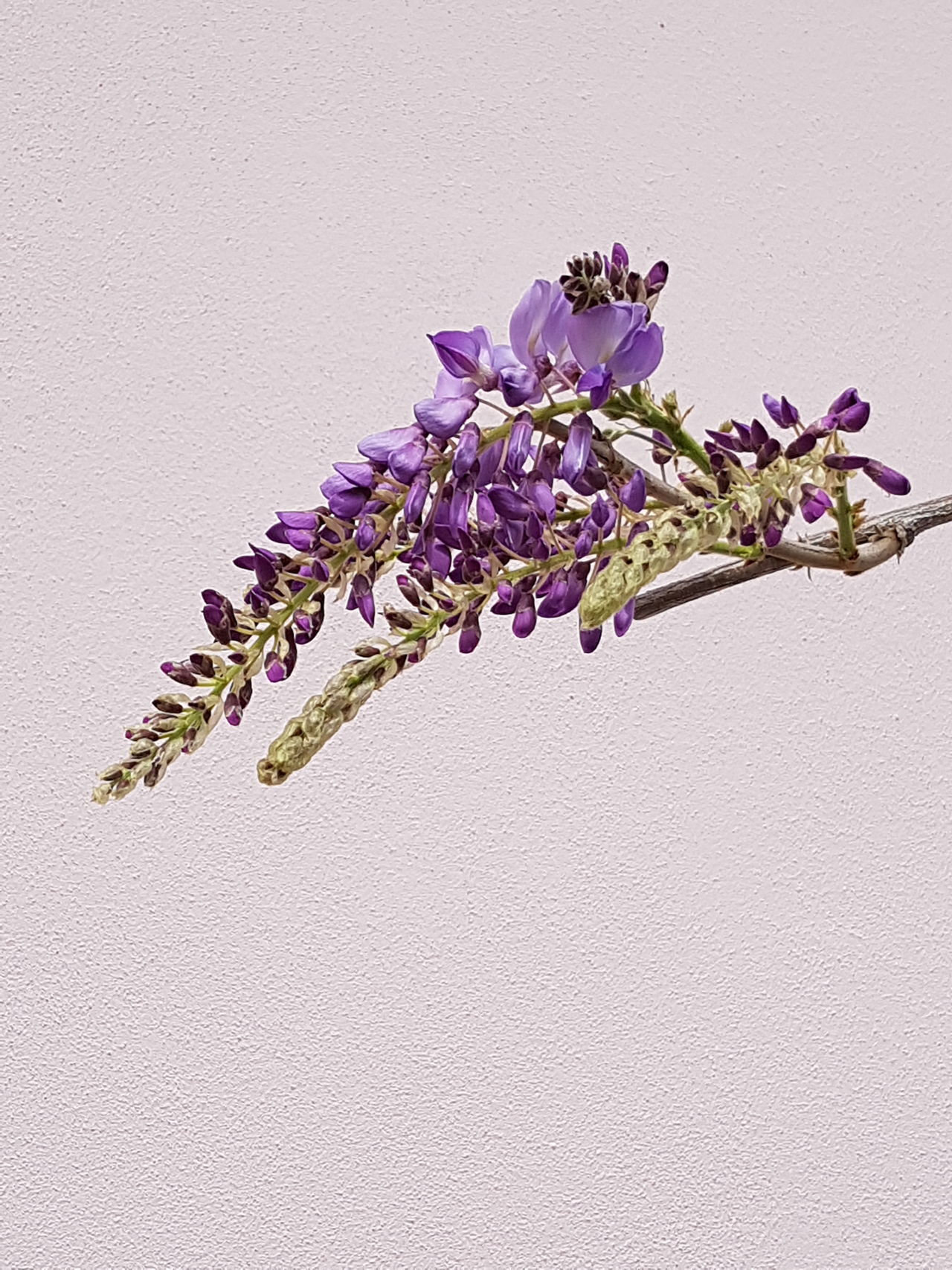 Glicine Glicineinfiore Flower Fragility Beauty In Nature Purple Freshness Blossom Nature Growth Plant No People Close-up Branch Flower Head Outdoors Lavender Day