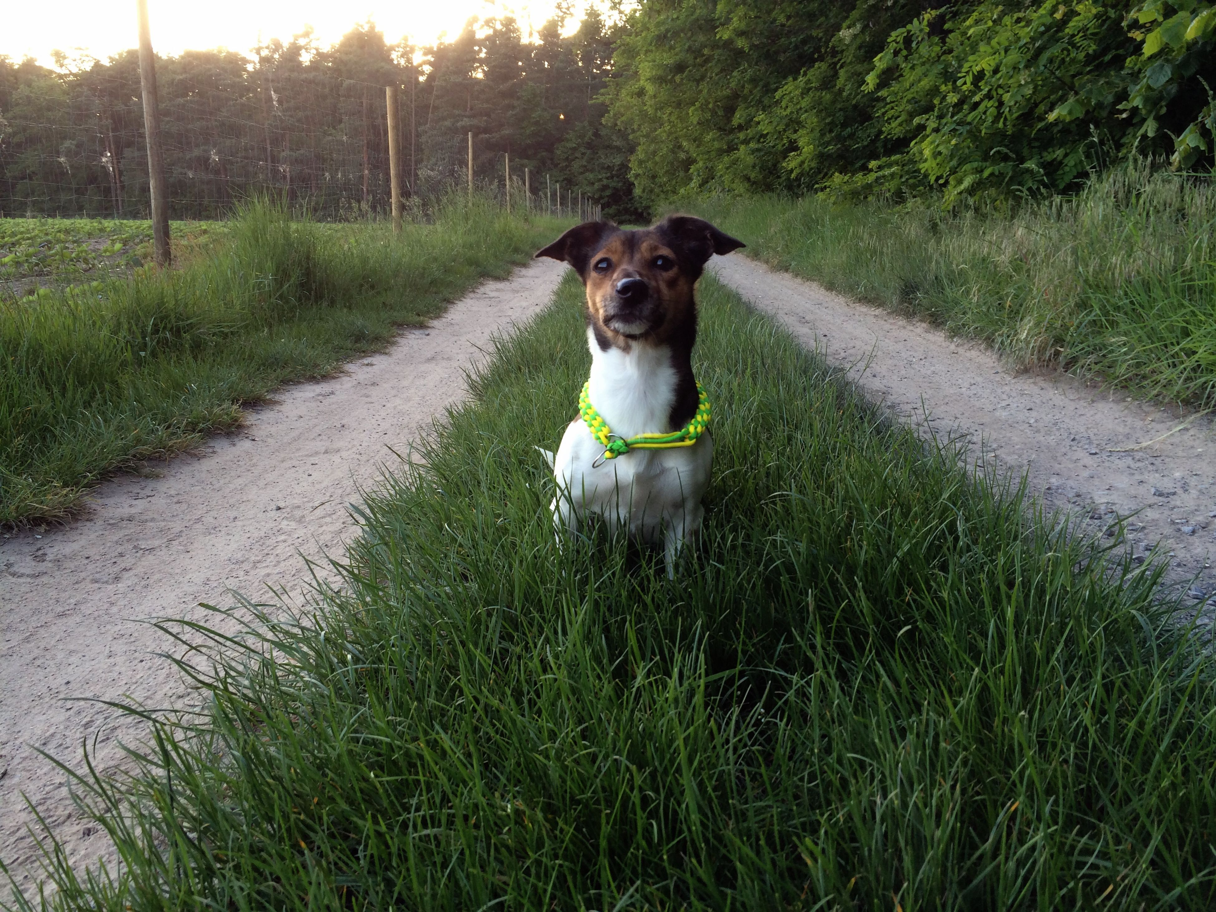 one animal, pets, dog, domestic animals, animal themes, mammal, grass, field, portrait, looking at camera, plant, full length, grassy, sitting, growth, running, nature, green color, pet collar, outdoors
