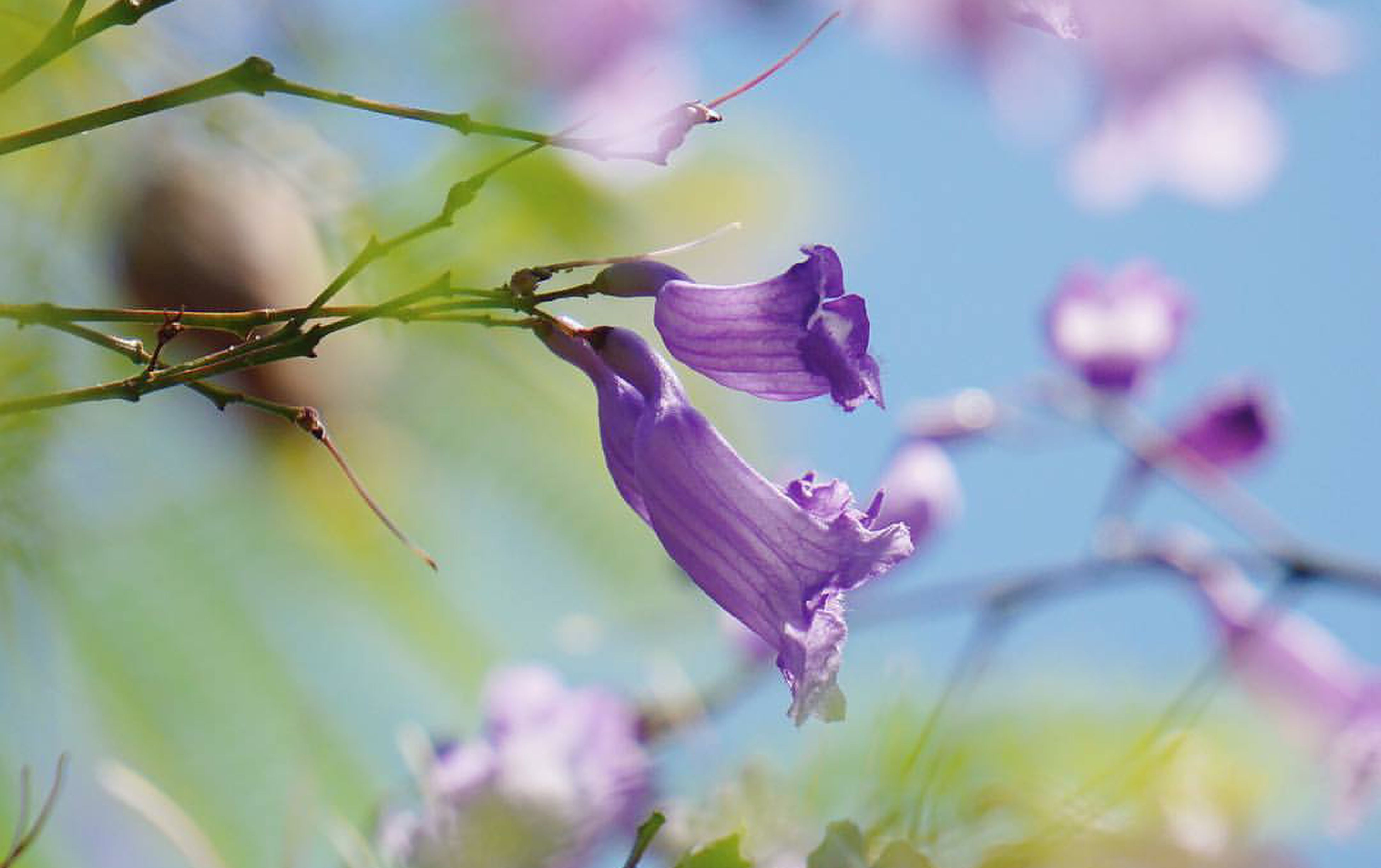 flower, growth, beauty in nature, nature, fragility, plant, petal, no people, purple, freshness, close-up, day, outdoors, focus on foreground, flower head, branch, blooming, tree