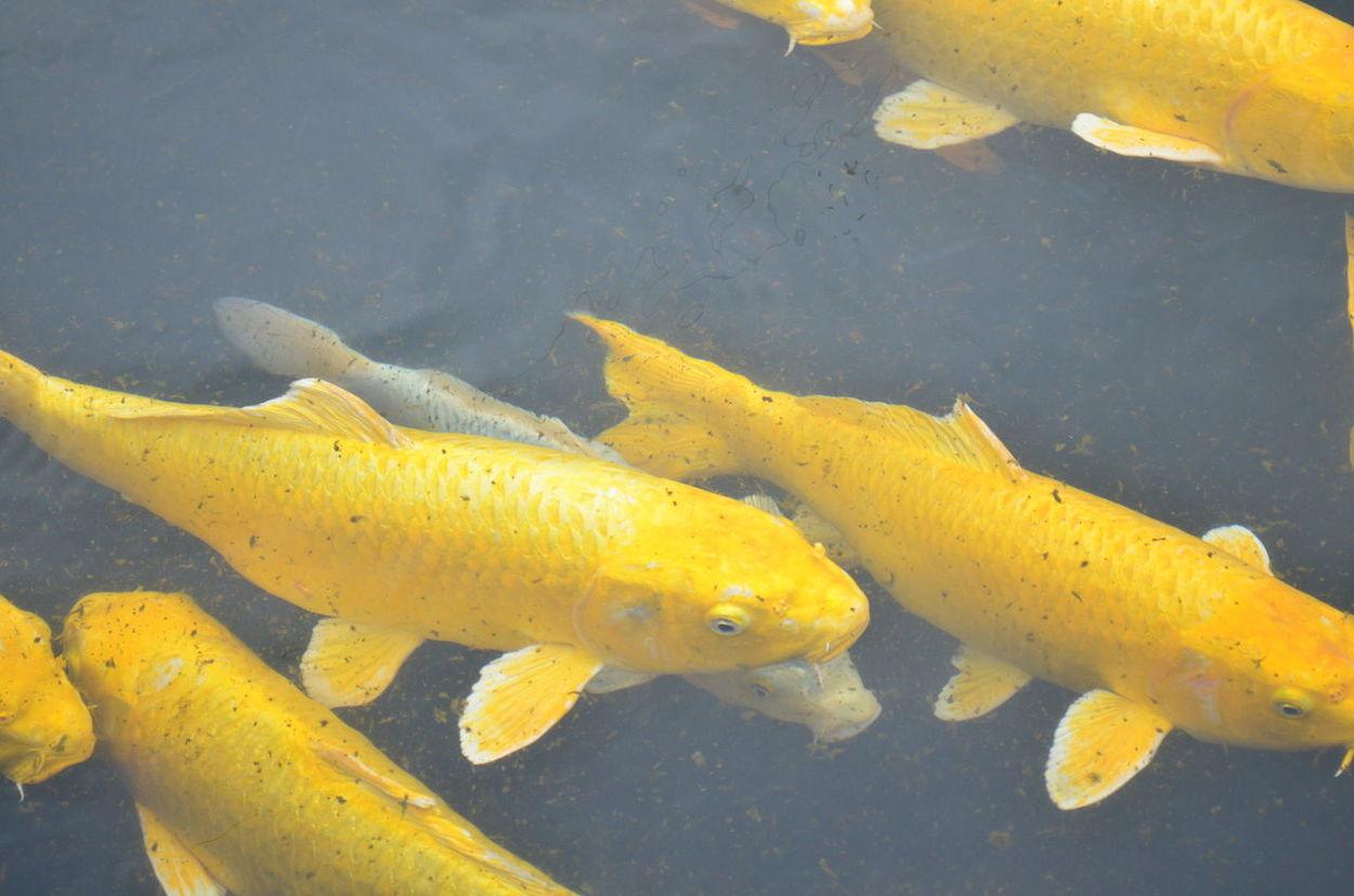 Koi fish eyeem for Yellow koi fish