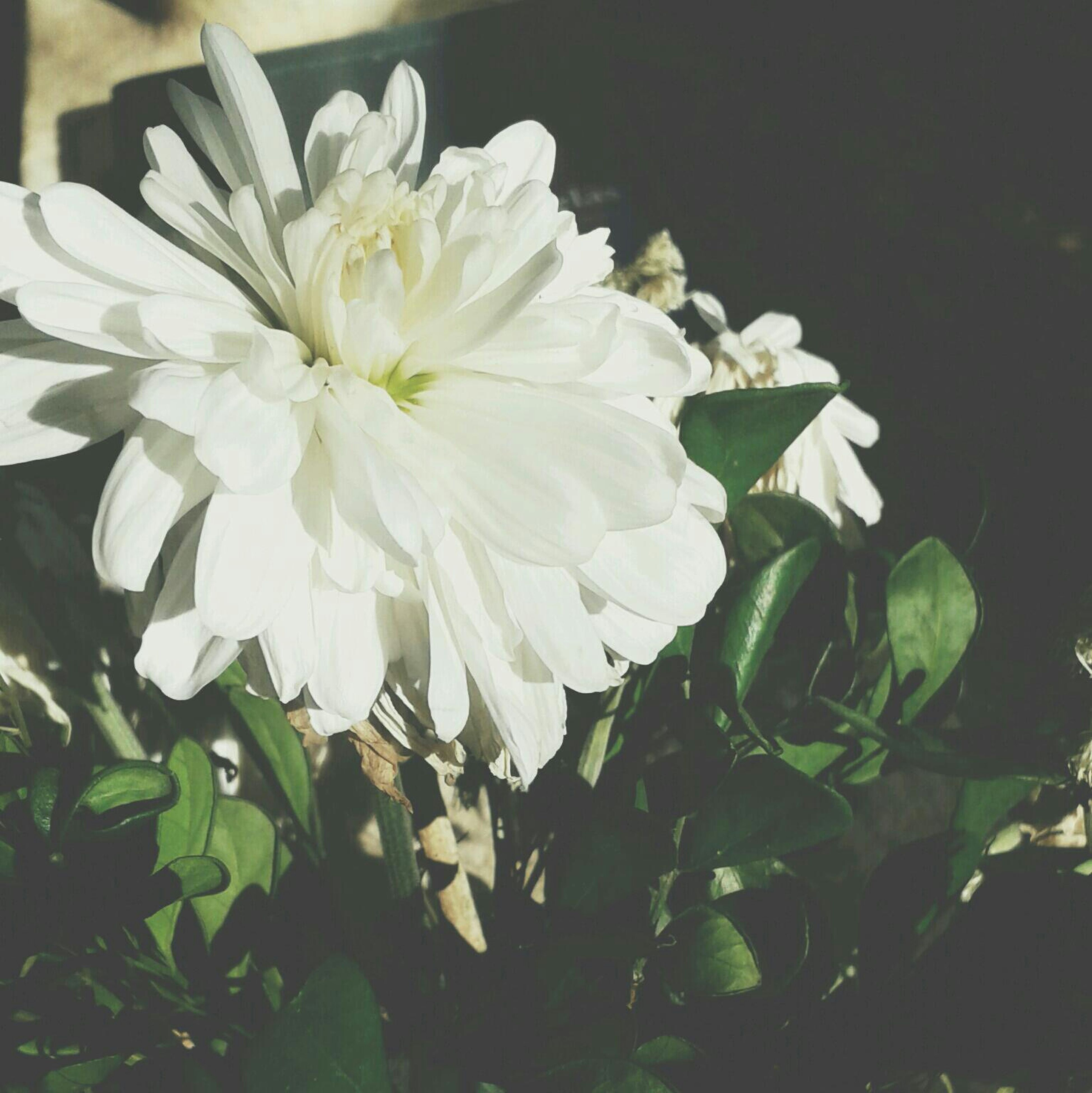 flower, petal, freshness, fragility, flower head, white color, growth, beauty in nature, blooming, close-up, nature, plant, leaf, in bloom, pollen, blossom, white, focus on foreground, no people, botany