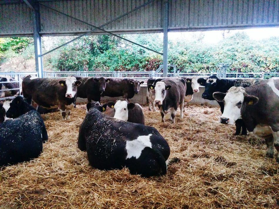 Irish Beef Farm Animals