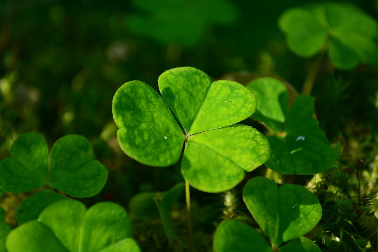 Beautiful stock photos of st patricks day, Botany, Close-Up, Clover, Day
