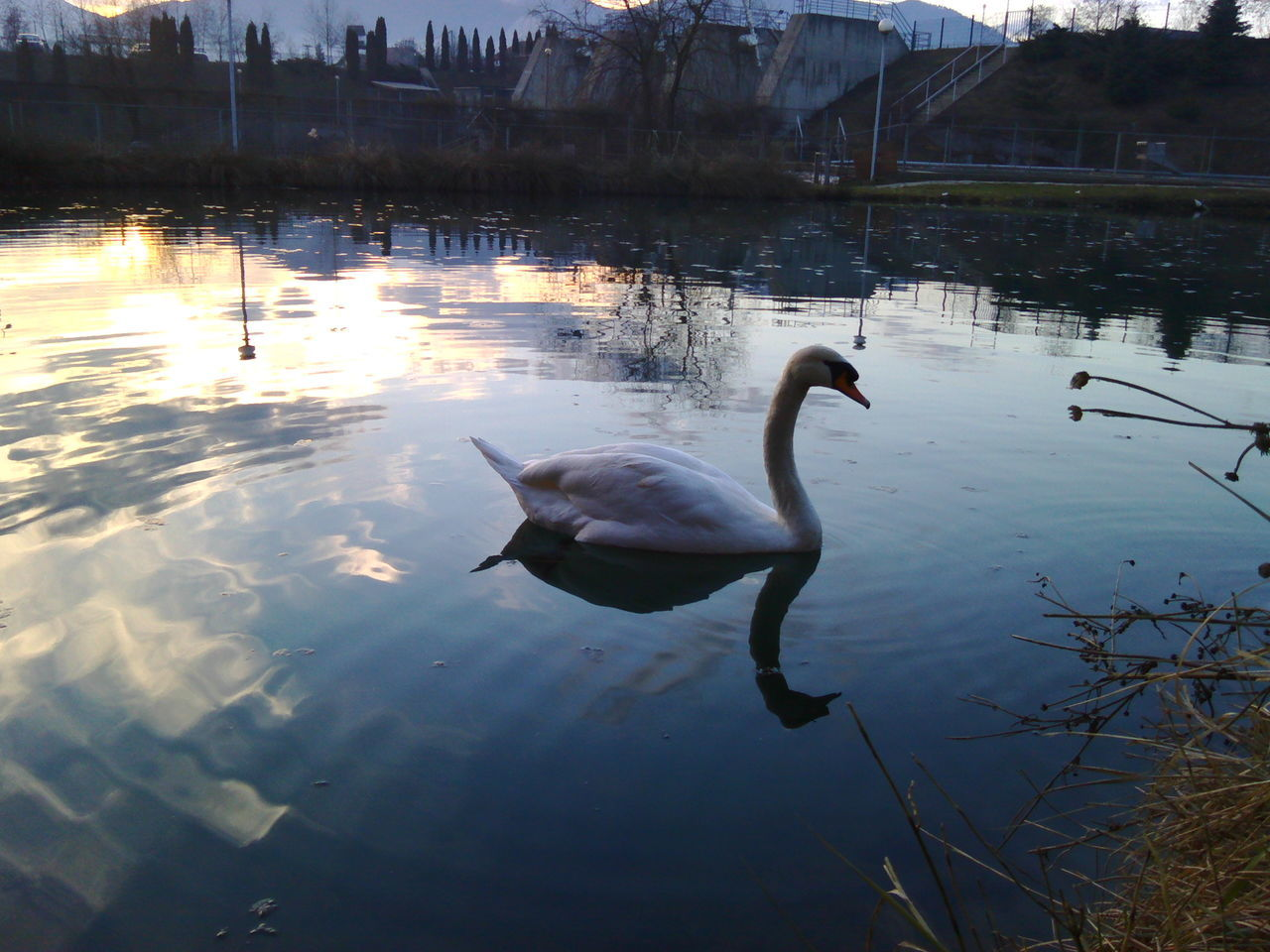 Beauty In Nature Bird ETNO SELO Love Nature Nature Nature_collection Swan Vitez Water Water Bird Wildlife