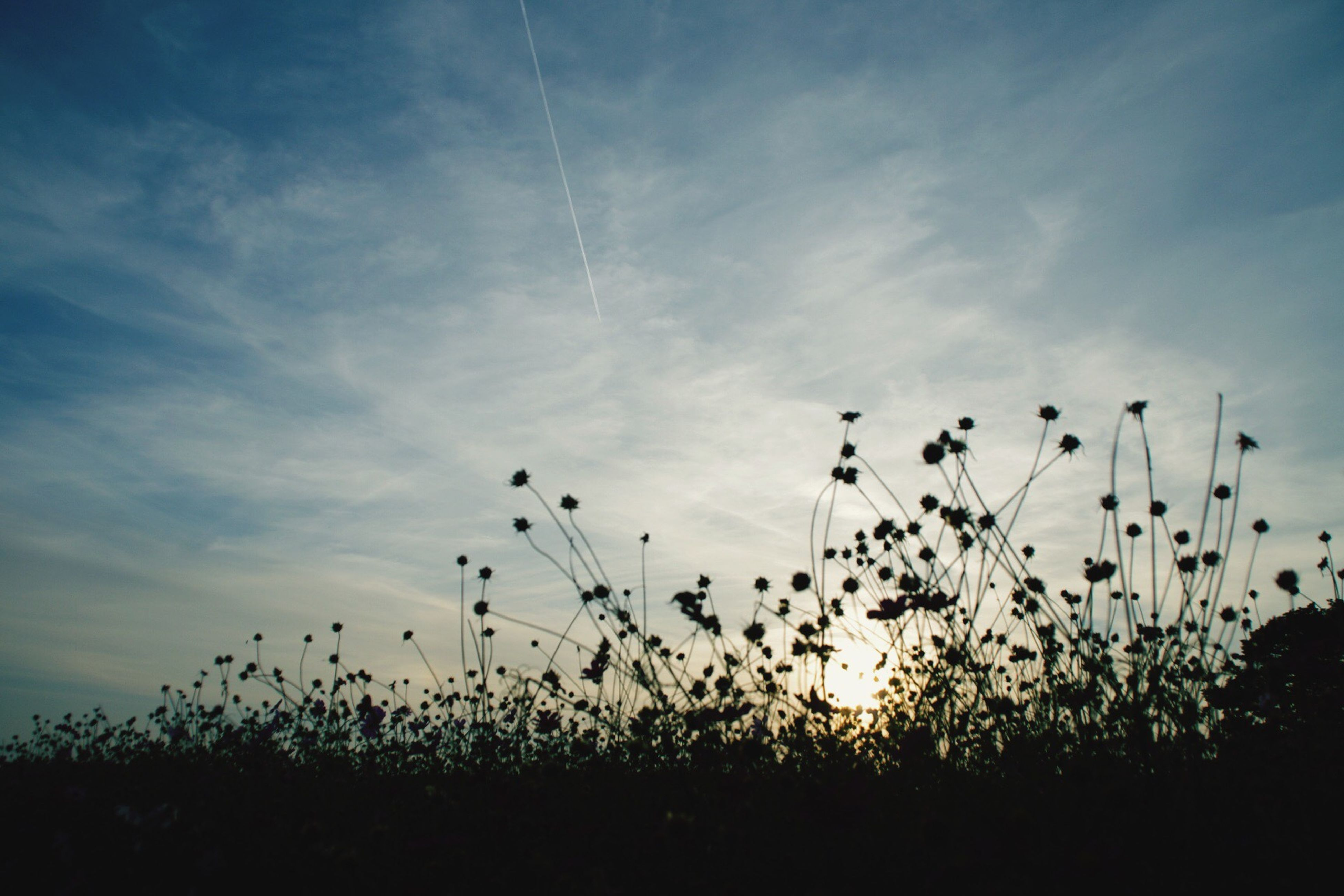 growth, plant, sky, sunset, nature, beauty in nature, field, flower, tranquility, silhouette, stem, tranquil scene, grass, scenics, freshness, cloud - sky, focus on foreground, cloud, outdoors, no people