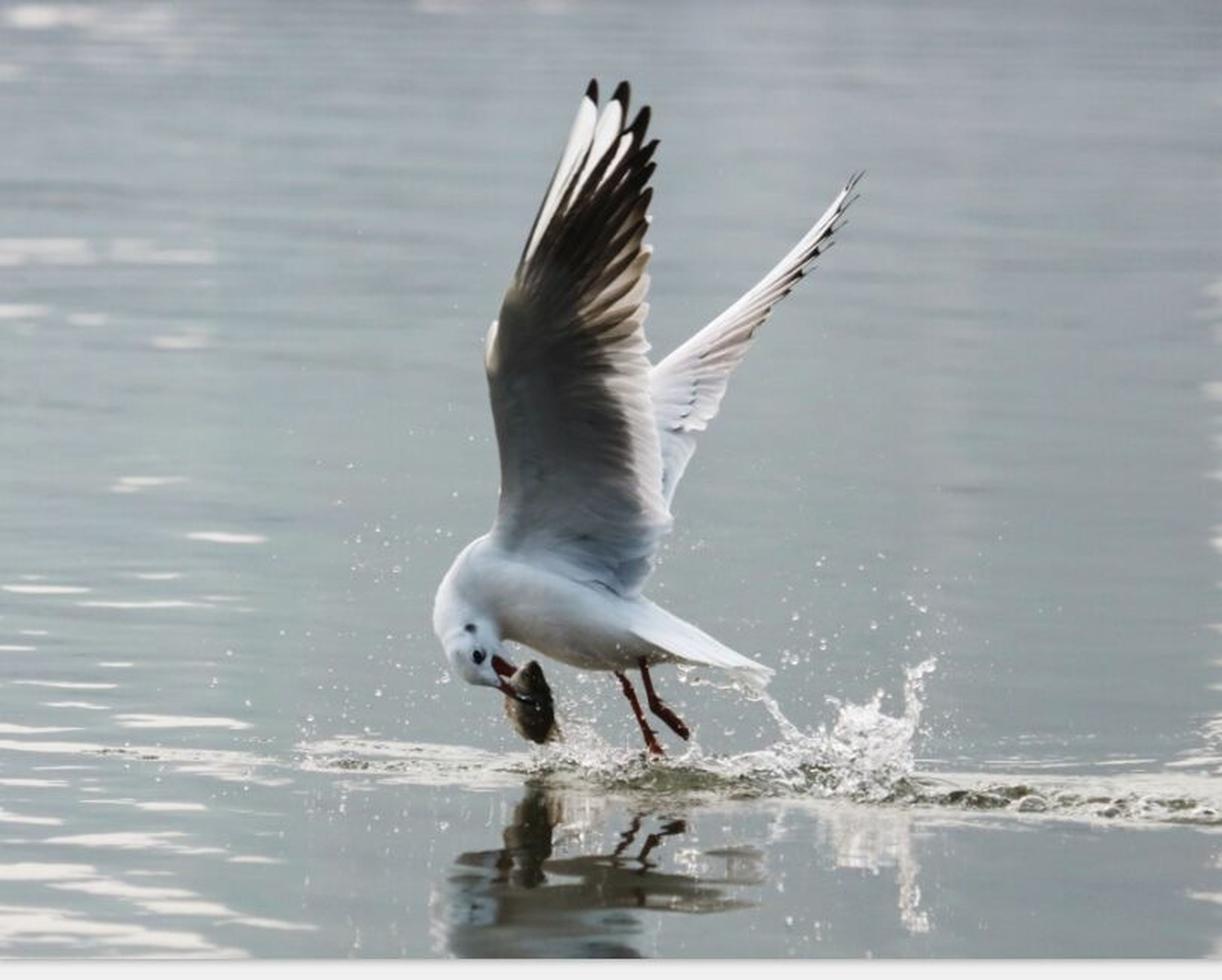 animal themes, animals in the wild, water, bird, one animal, wildlife, spread wings, waterfront, flying, motion, seagull, rippled, mid-air, nature, sea, lake, full length, day, outdoors, no people