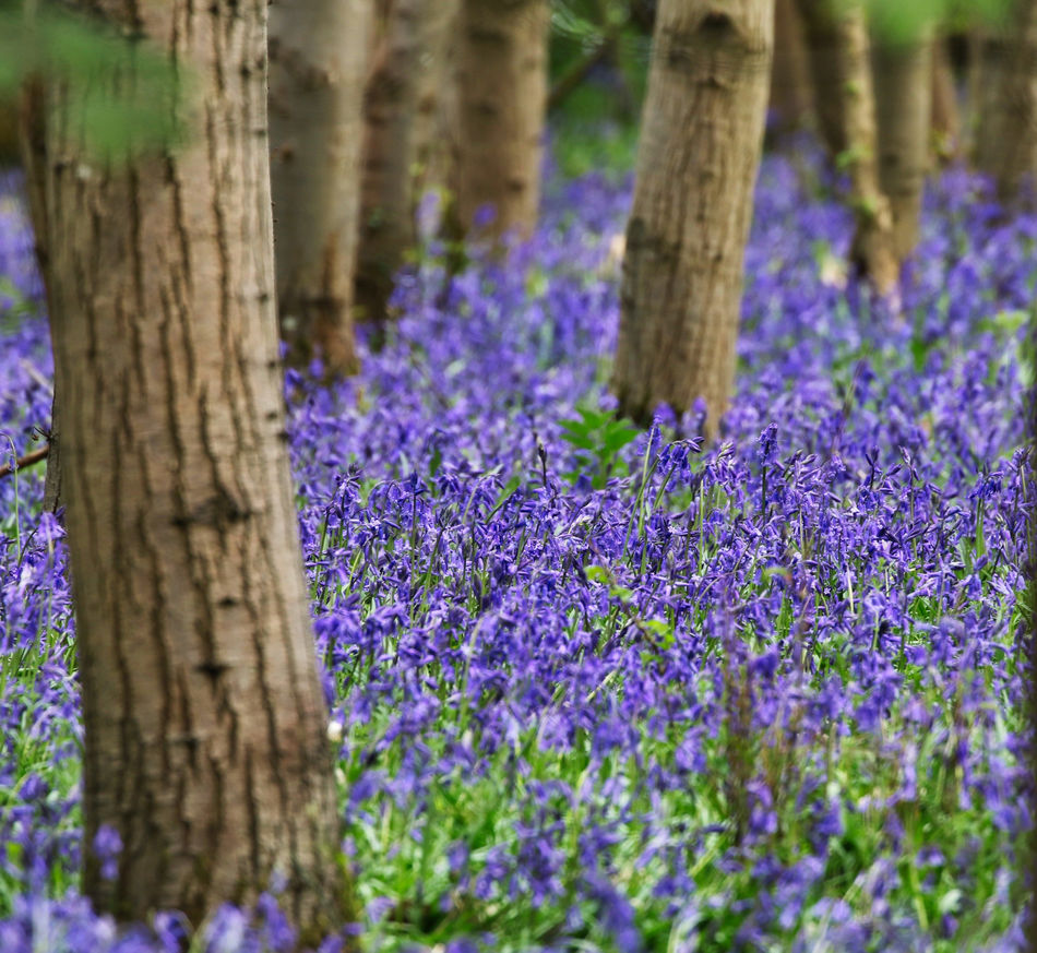 Spring Bluebells out in full bloom Beauty In Nature Close-up Day Flower Growth Nature No People Outdoors Plant Purple Tranquility Tree Tree Trunk