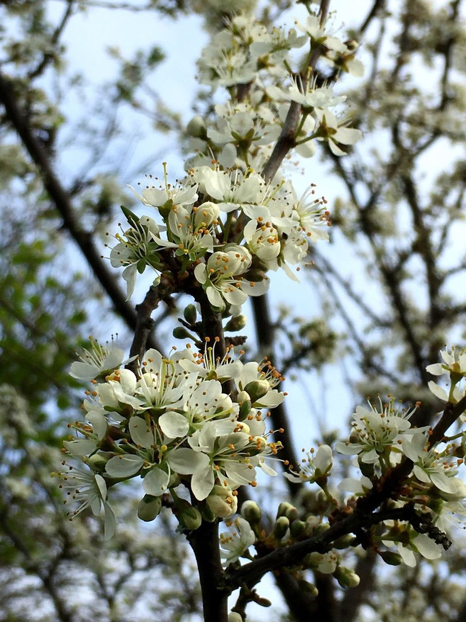 Hawthorn Growth Flower Nature Tree Shrub Springtime White Color Beauty In Nature Blossom Branch Freshness In Bloom Close-up No People Outdoors Petal Low Angle View Day Fragility Twig