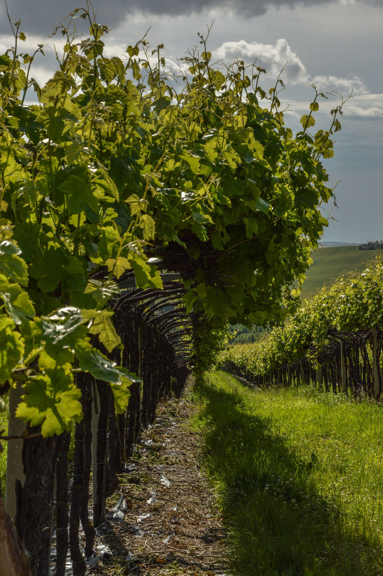 Agriculture Beauty In Nature Day Grapefruit Grapes 🍇 Grapevine Green Color Growth Nature No People Outdoors Plant Scenics Tree Wine Wine Moments