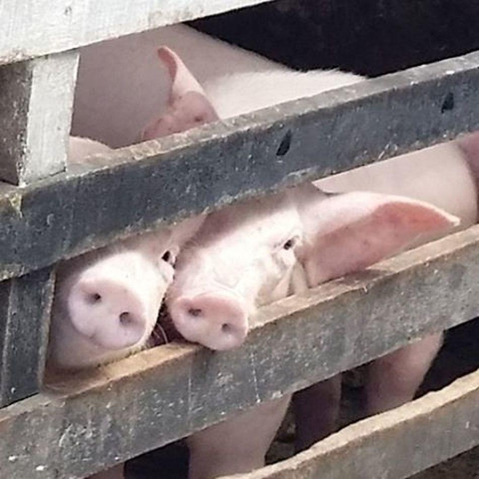 Porco Leitão Leitãozinho Pig Piggy Pork Beaconalive Beacon Curioso Friend