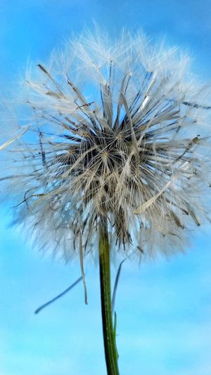 Flower Dandylion Petals Wishes Seeds Dried Flowers Wild Flowers White Soft Fluffy Blue Nature Outdoors Plant Close-up Fragility Flower Head Dandelion Seed Growth Beauty In Nature Day Sky Flowers Of EyeEm Flowerporn Maximum Closeness