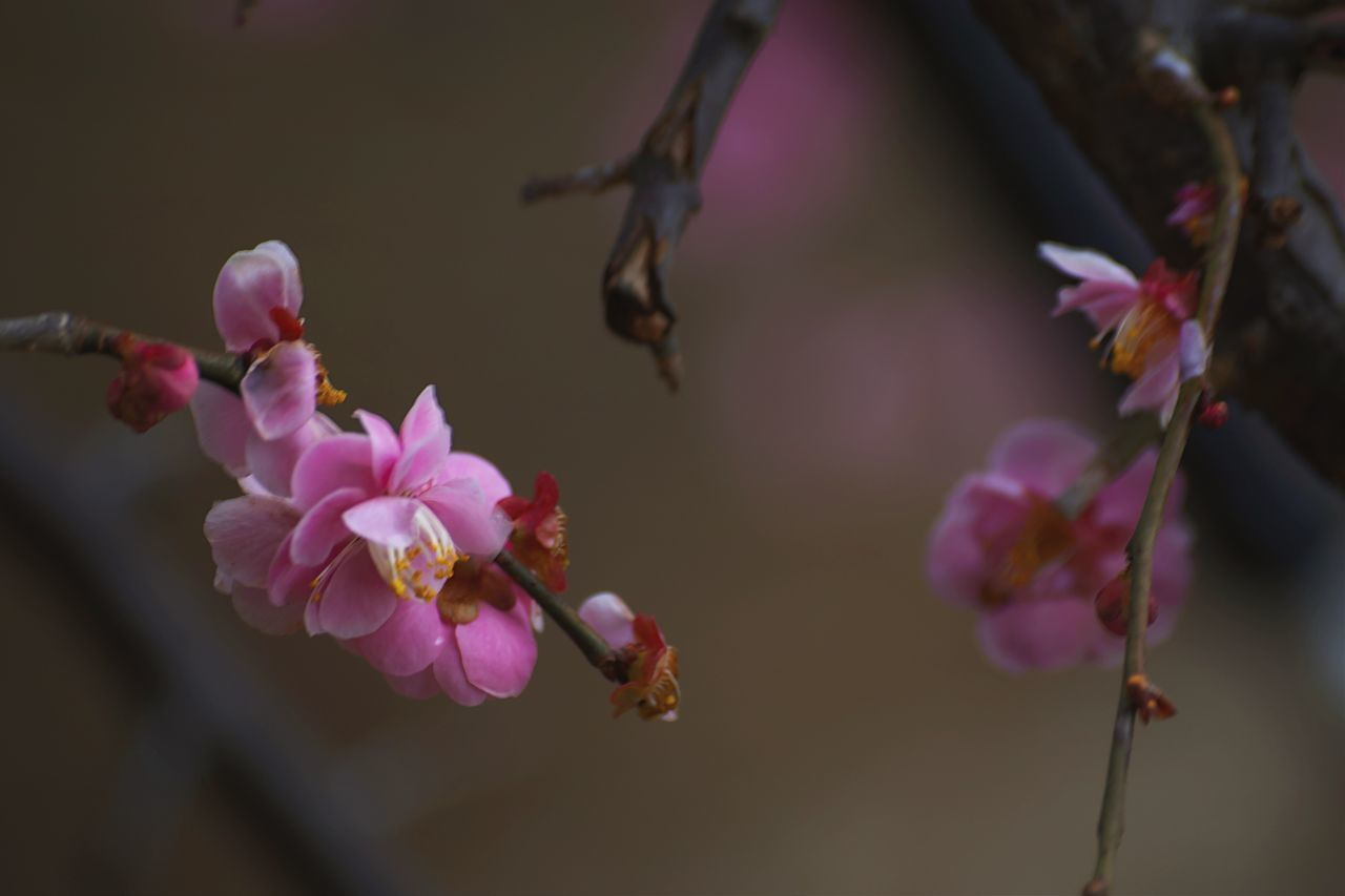 Dark Lens by... Pink Color Flower Fragility Nature Freshness Growth Close-up Beauty In Nature Petal No People Twig Outdoors Flower Head Day Animal Themes Plum Blossom EyeEmNewHere Eeyem EyeEm Nature Lover EyeEm Best Shots EyeEm Gallery Darkness And Light
