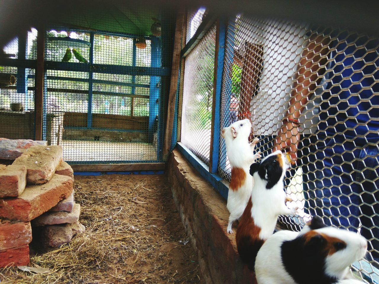 Beautiful stock photos of guinea-pigs,  Animals In Captivity,  Cage,  Day,  Domestic Animals