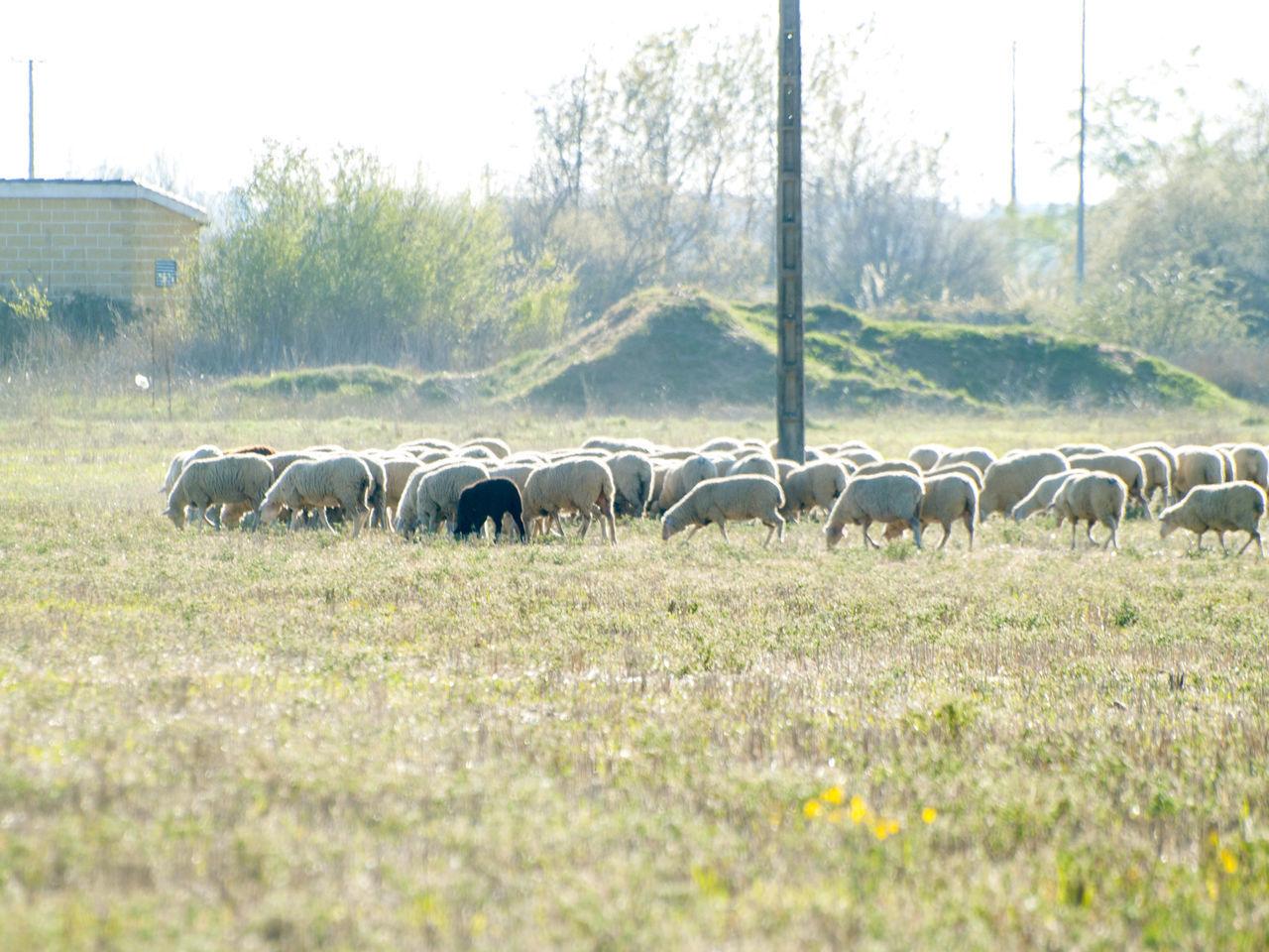 Abundance Animal Animal Themes Countryside Day Farm Life Farming Field Flock Of Sheep Grassland Grazing Lambs Landscape Large Group Of Animals Nature No People Outdoors Pasture, Paddock, Grassland, Pastureland Rural Landscape Rural Life Sheep Sheeps Stubble Tree Village Life