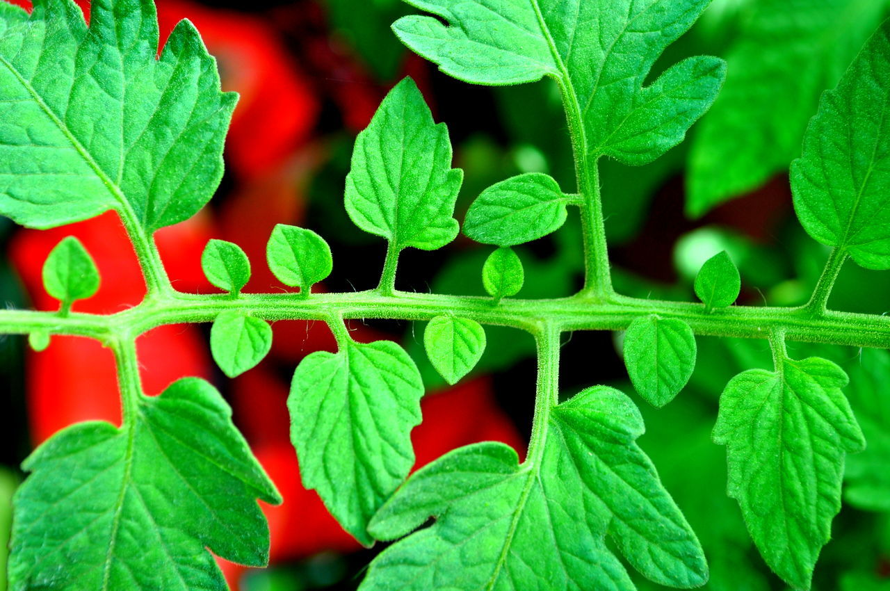 Tomato vine Beauty In Nature Botany Close-up Day Focus On Foreground Full Frame Garden Green Green Color Growing Growth Leaf Leaf Vein Leaves Lush Foliage Natural Pattern Nature No People Outdoors Plant Red Selective Focus Stem Tomato Tomato Vine