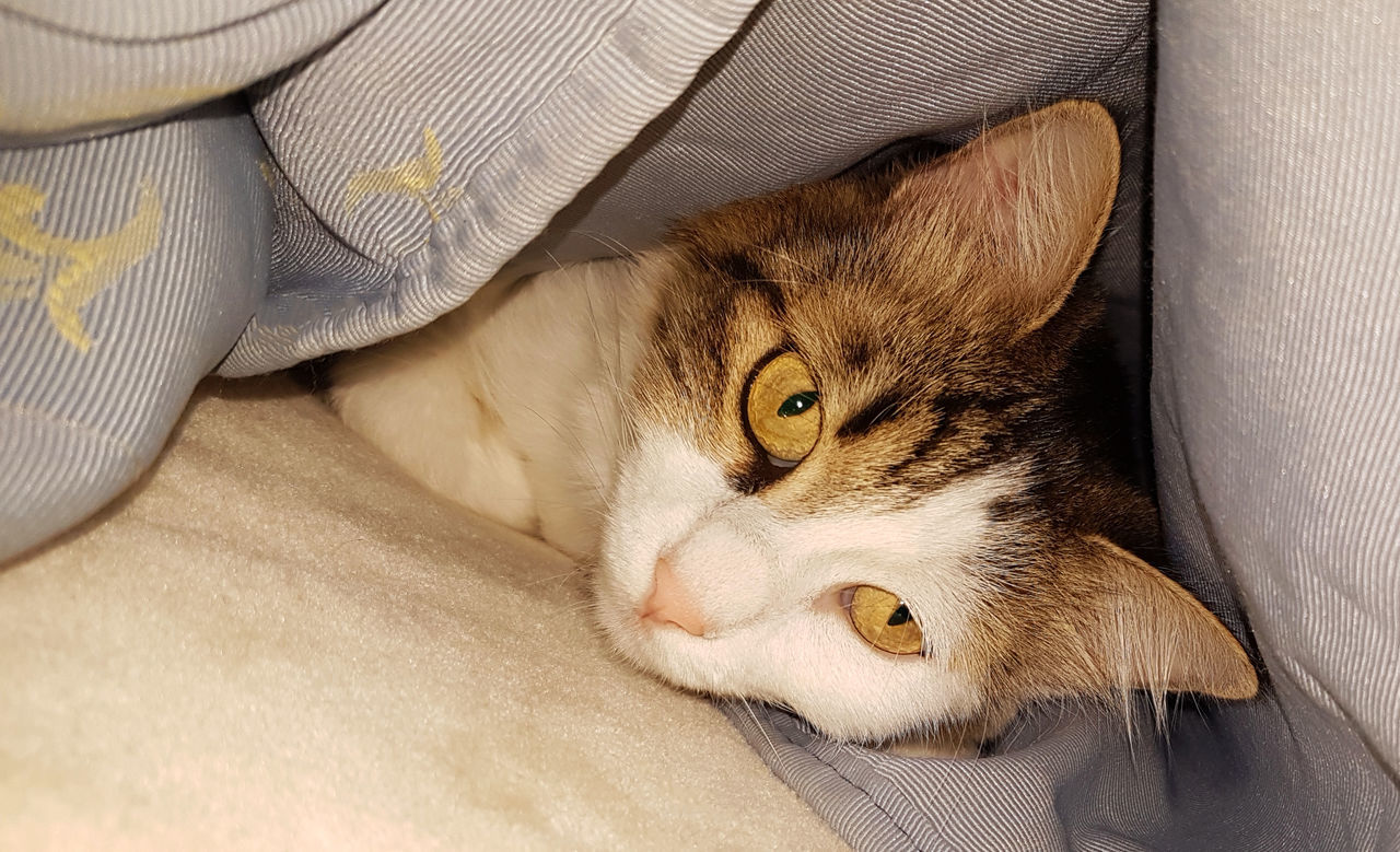 Animal Themes Backgrounds Bed Blanket Close-up Domestic Animals Domestic Cat Feline Indoors  Mammal Nature No People One Animal Pets