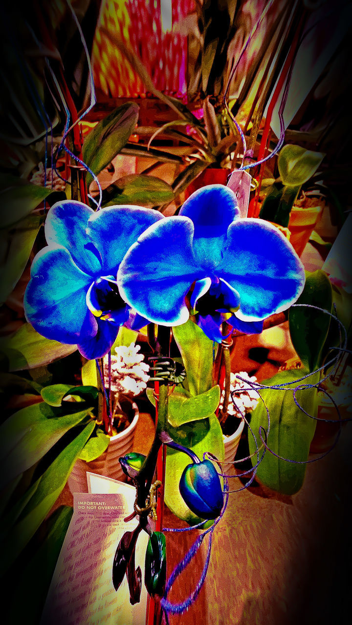 blue, flower, leaf, no people, close-up, plant, nature, beauty in nature, day, growth, multi colored, indoors, fragility, flower head, freshness