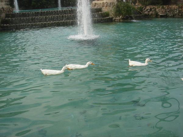 #animal #animals #nature #swans #whiteduck Animal Themes Bird Duck Lake One Animal Swan Swimming Water Wildlife