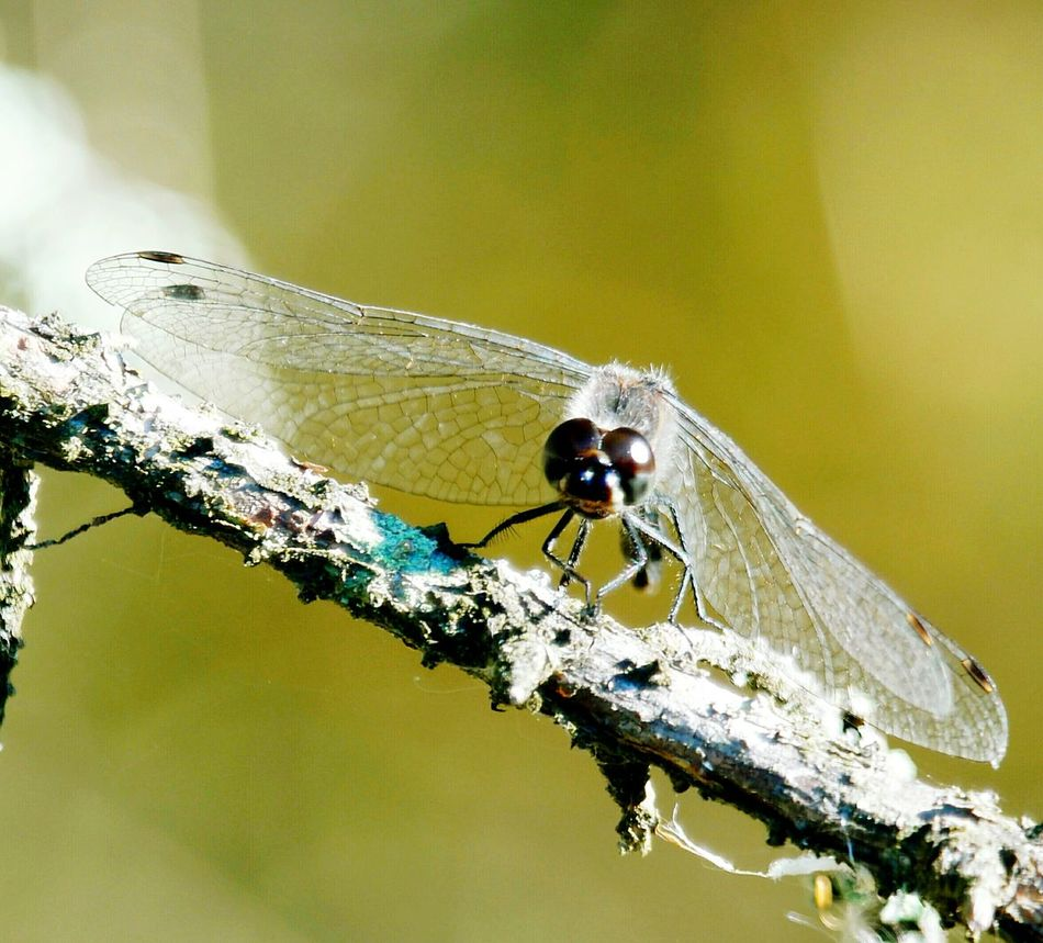 Dragonfly Animal Themes One Animal Animals In The Wild Wildlife Insect Zoology Close-up Focus On Foreground Perching Outdoors Animal Wing Animal Dragonflywings Macro Dragonfly