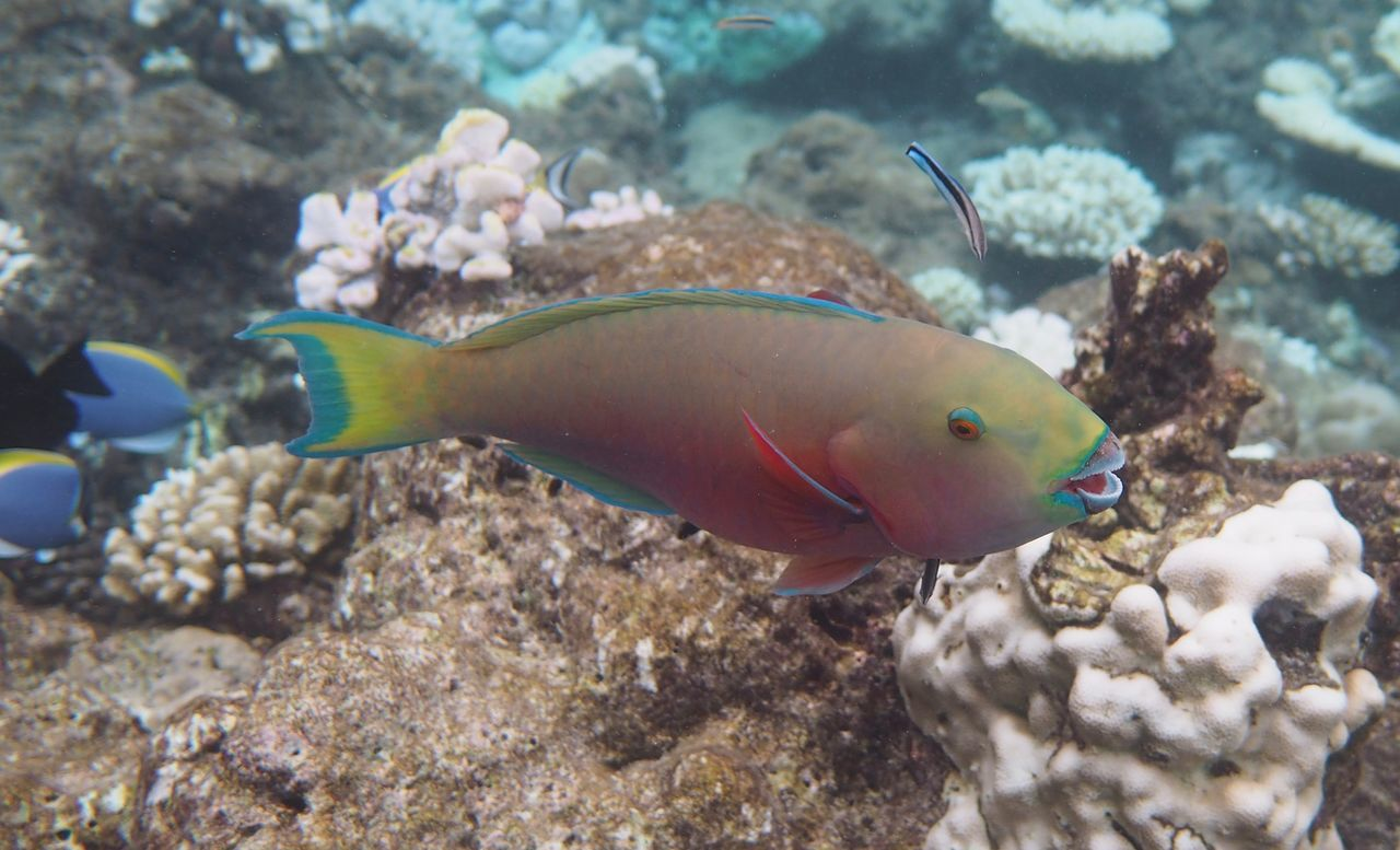 Parrot Fish Animal Animals Colorful Coral Coral By Motorola Diving Diving Time Fish Ocean Parrot Parrot Fish Swimmming Underwater Wildlife