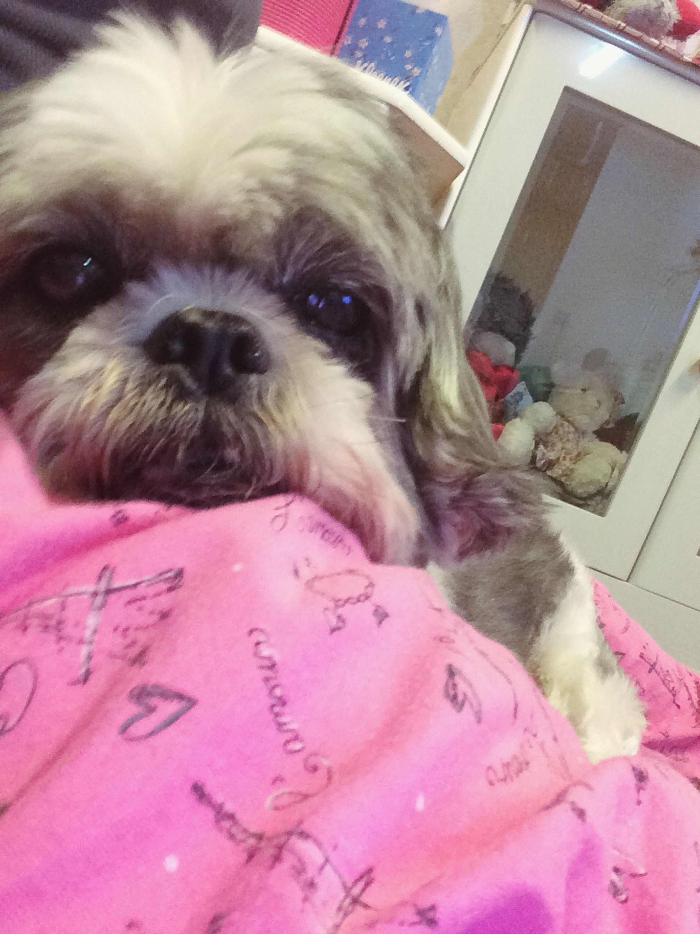 pets, domestic animals, dog, indoors, one animal, animal themes, mammal, looking at camera, portrait, relaxation, home interior, bed, close-up, lying down, sofa, home, resting, animal head, no people, cute